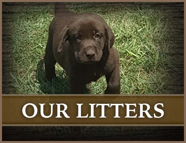 Southern Flight Retrievers Litters