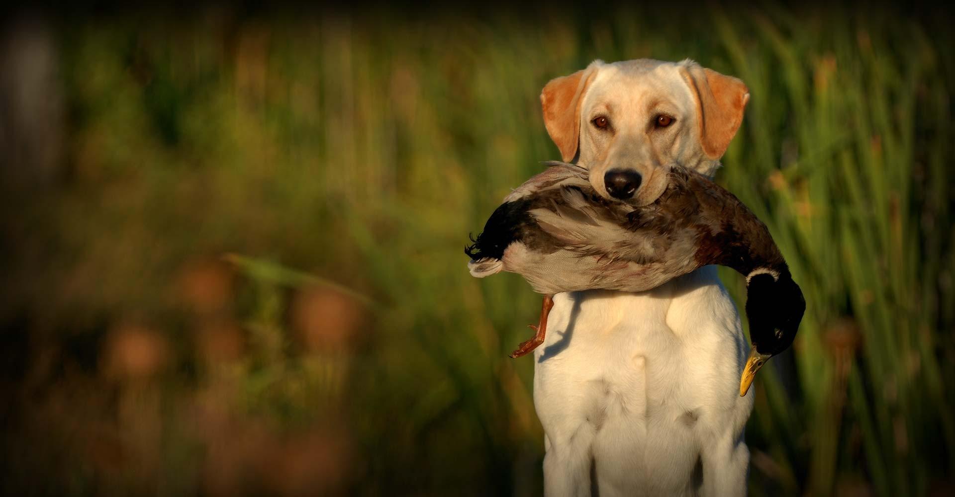 Southern Flight Retrievers - Labrador Retreiver Breeder in